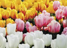 Почтовая открытка Тюльпаны