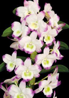 Почтовая открытка Орхидея Dendrobium Nobile