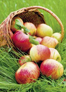 Почтовая открытка Корзина яблок